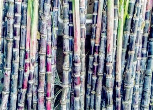 """""""蔗糖原料""""甘蔗的功效与作用有哪些?一般什么季节成熟上市?"""